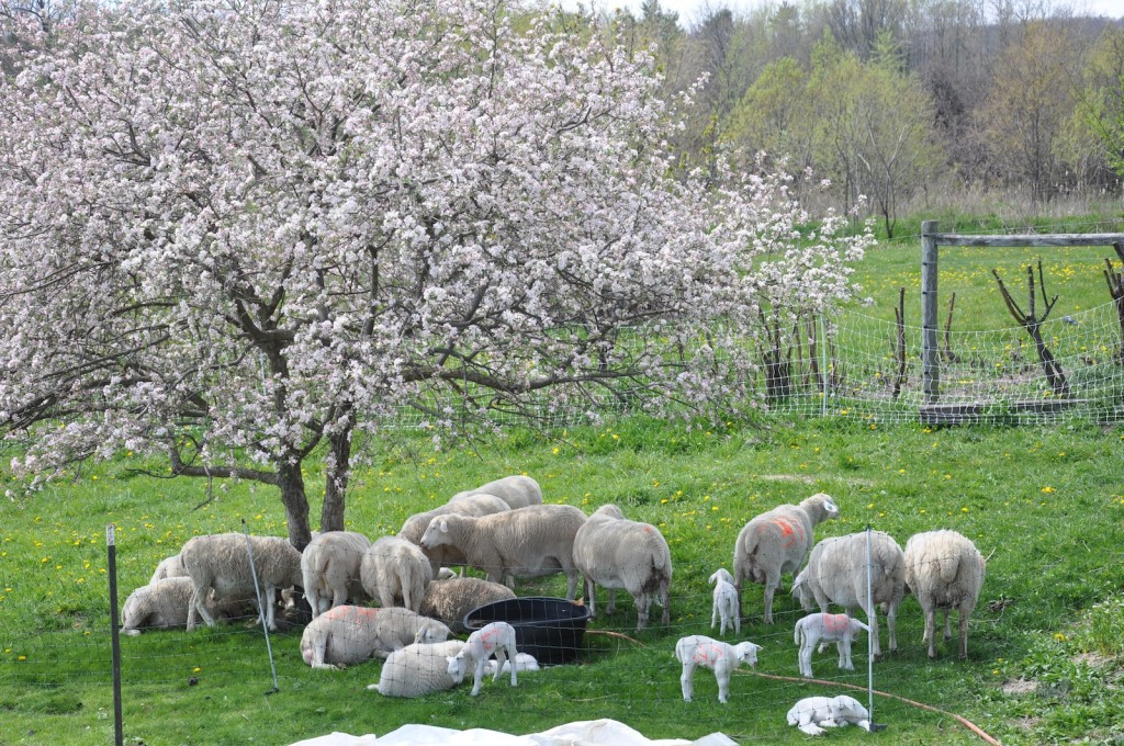 Ewes and Lambs Under Crabapple Tree